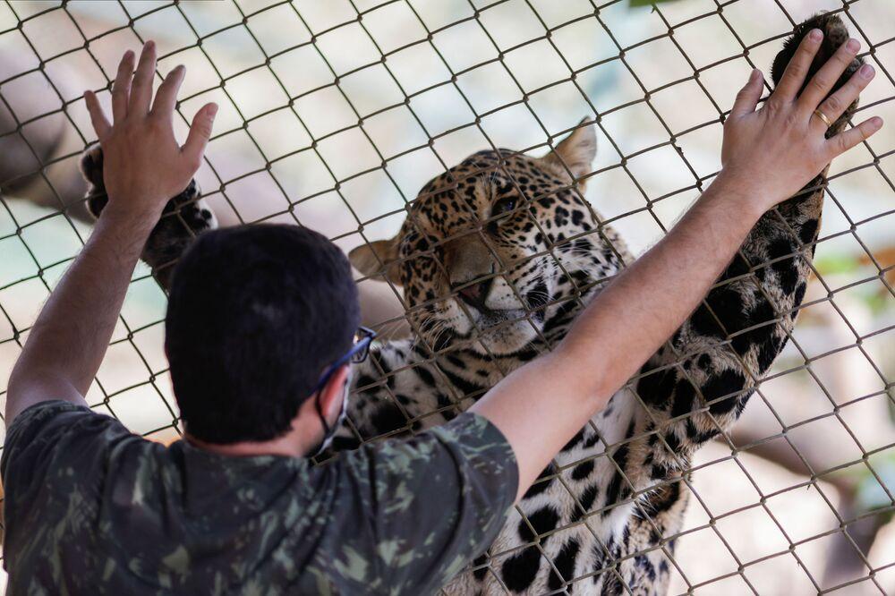 Un giaguaro e il suo guardiano nel centro NGO Nex Institute in Brasile