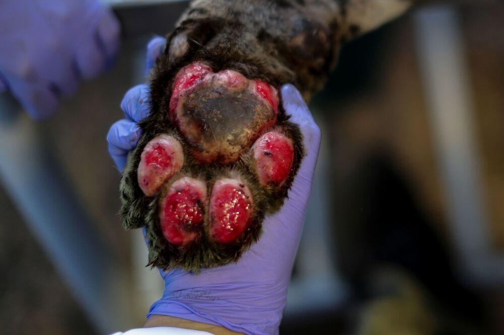 Una zampa di un giaguaro in cura presso il centro NGO Nex Institute in Brasile