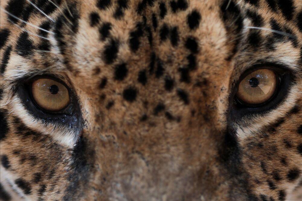 Un giaguaro in cura presso il centro NGO Nex Institute in Brasile