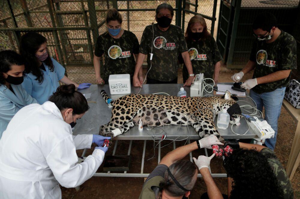 La cura di un giaguaro ferito dagli incendi forestali in Brasile