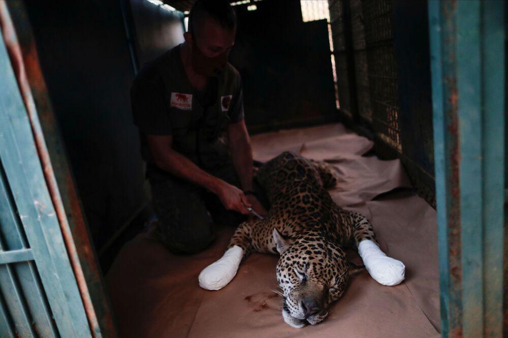 Un giaguaro viene curato presso il centro NGO Nex Institute in Brasile