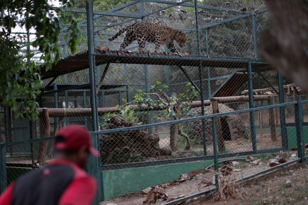 Il giaguaro Guarani in cura nel centro NGO Nex Institute in Brasile
