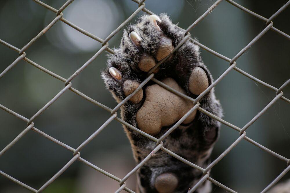 La zampa di un giaguaro
