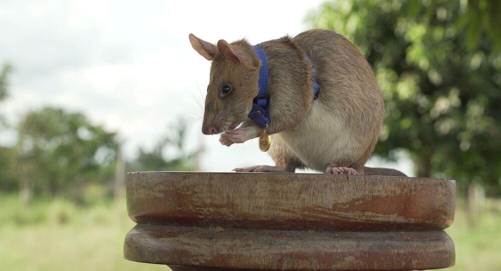 Un ratto di nome Magawa specializzato nella bonifica dei terreni minati