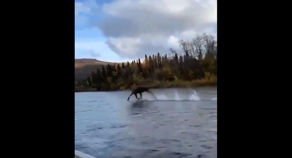 l'alce corre sull'acqua