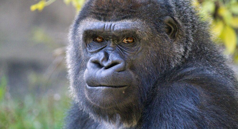 Un gorila