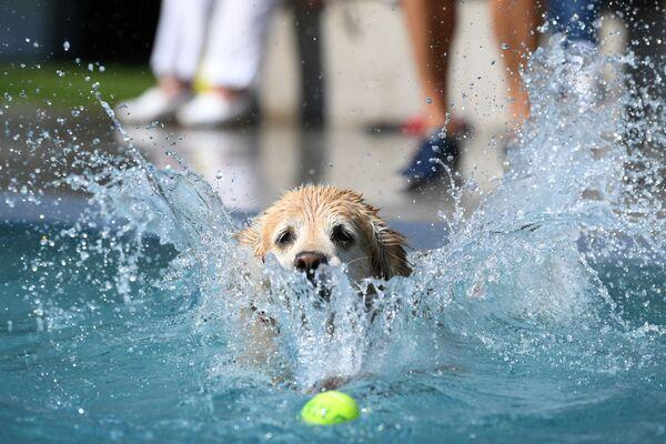 Un cane nuota per la palla nella piscina - Sputnik Italia