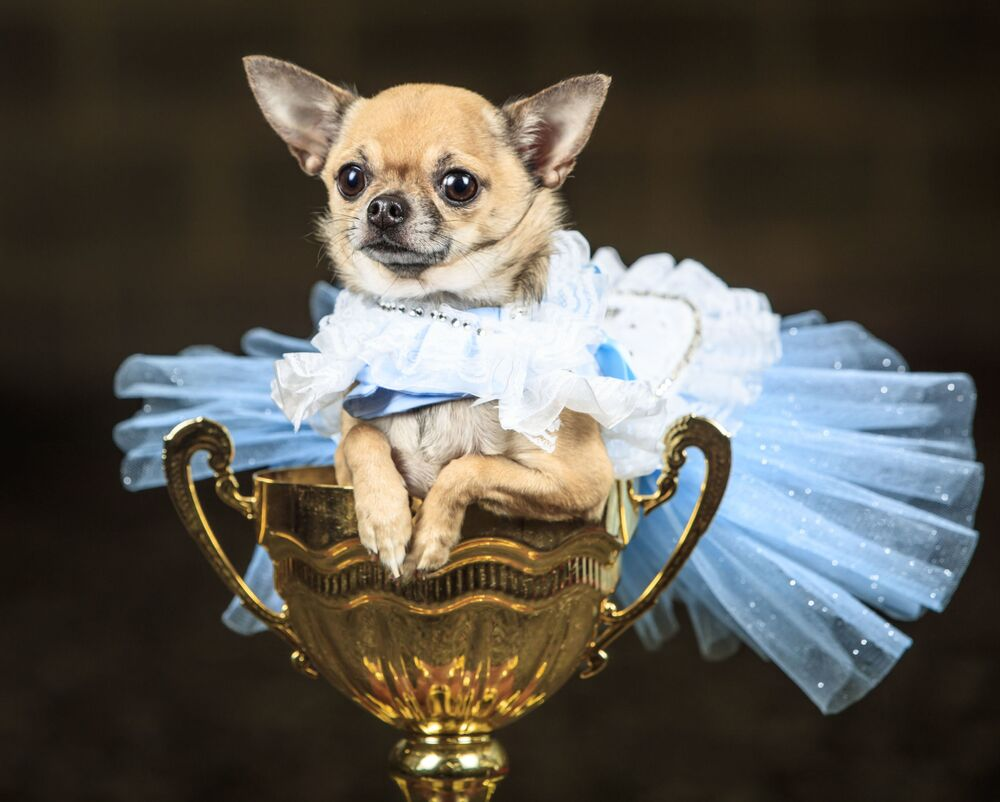 Un cane chihuahua Dolly, vestito da Alice nel Paese delle Meraviglie, durante il concorso per i cani Furbabies a Tockwith, North Yorkshire