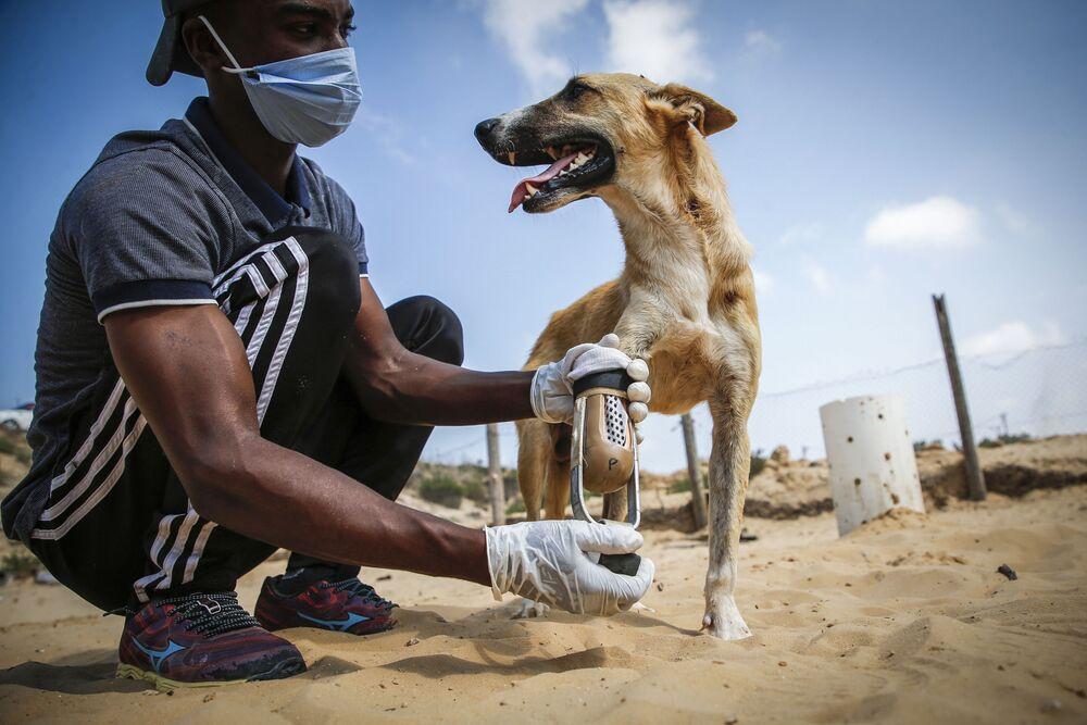 Un volontario palestinese che si occupa della cura degli animali consegna una nuova protesi a un cane disabile, Gaza