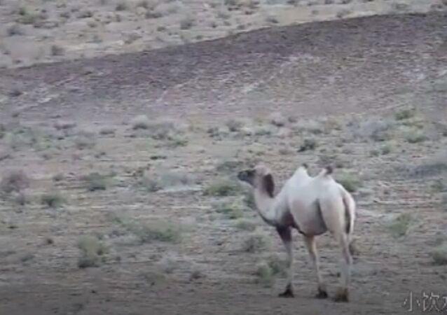 cammello albino