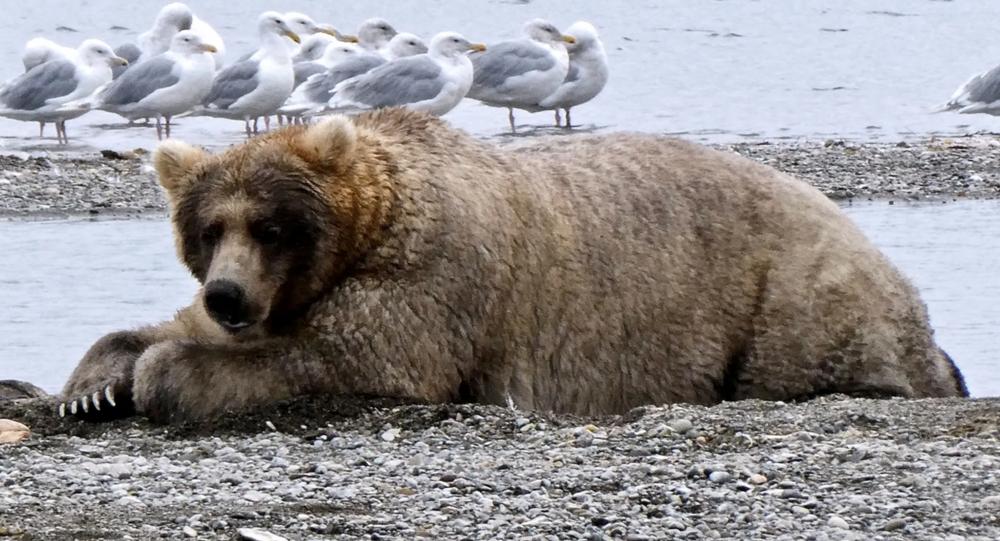 Orso in Alaska