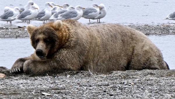 Super thick fat and beautiful big brown bear  - Sputnik Italia