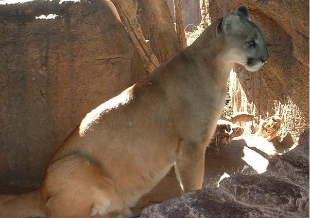 Mountain Lion in the Arizona-Sonora Desert Museum, Tucson, Arizona.
