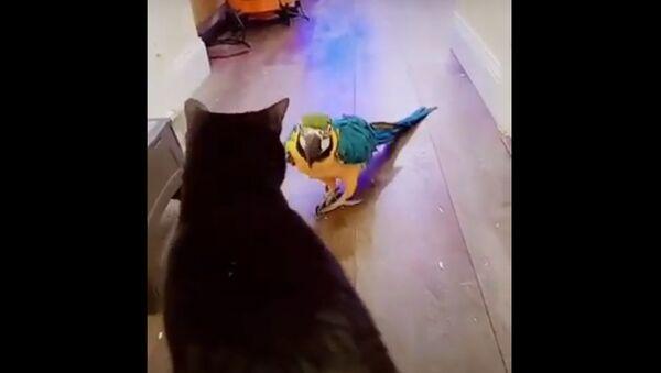 Pappagallo attacca gatto - Sputnik Italia