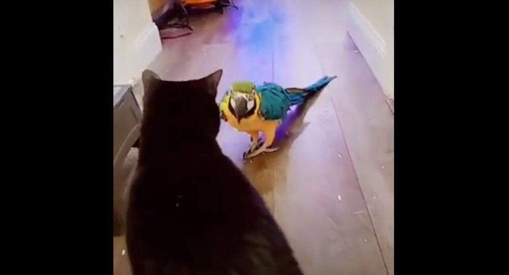 Pappagallo attacca gatto
