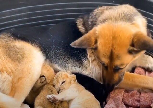 Pastore tedesco diventata madre adottiva per leoncini
