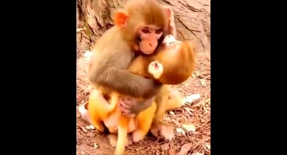 Baci e abbracci: la mamma scimmia coccola suo adorabile bambino