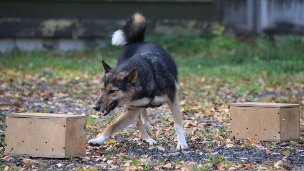 Uno dei cani della razza shalaika dell'unità cinofila del dipartimento per la gestione della sicurezza aerea di Aeroflot  durante l'addestramento