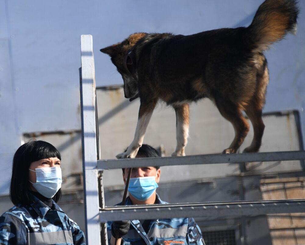 Cinologi durante l'addestramento dei cani della razza shalaika dell'unità cinofila del dipartimento per la gestione della sicurezza aerea di Aeroflot all'aeroporto Sheremetyevo.