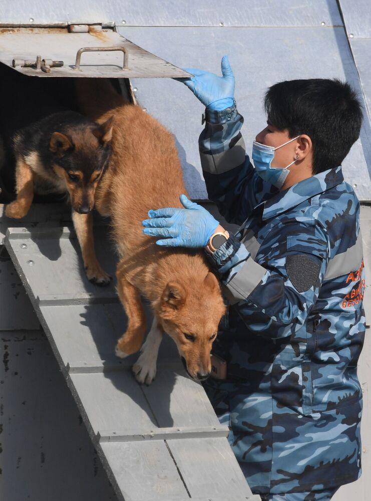 Cinologi addestrano i cani dell'unità cinofila dell'Aeroflot a rivelare il Coronavirus