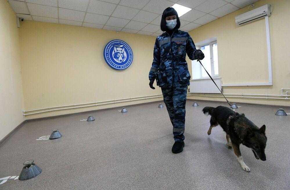 Cinologo addestra un cane dell'unità cinofila dell'Aeroflot a rivelare il Coronavirus