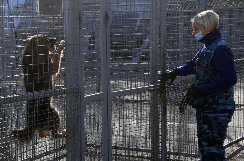 Cinologo durante l'addestramento dei cani della razza shalaika dell'unità cinofila del dipartimento per la gestione della sicurezza aerea di Aeroflot all'aeroporto Sheremetyevo.