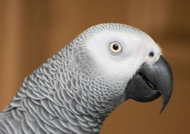 Esemplare di pappagallo cenerino