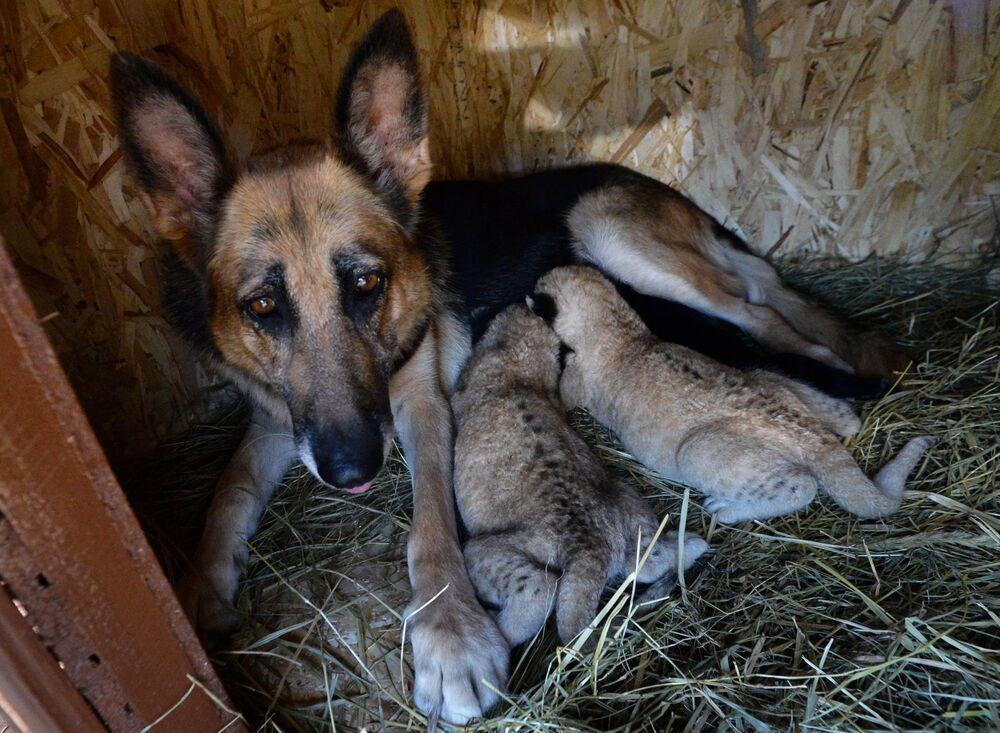 Un cane pastore tedesco nella regione di Vladivostok (Russia), ha salvato due cuccioli di leone abbandonati dalla madre leonessa nutrendoli con il suo latte