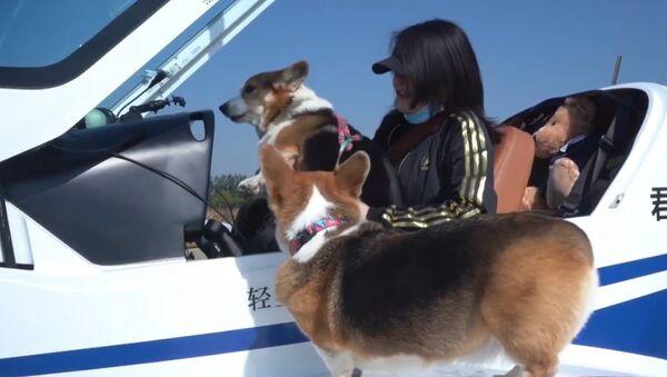 Padrona dei corgi insieme agli animali ha fatto un giro su Pechino con un jet privato - Sputnik Italia