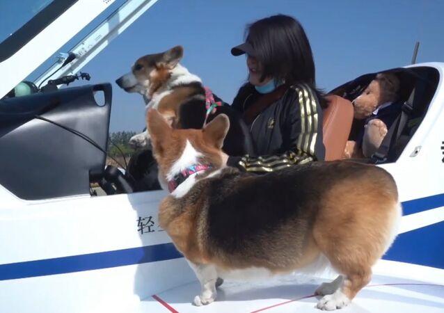Padrona dei corgi insieme agli animali ha fatto un giro su Pechino con un jet privato