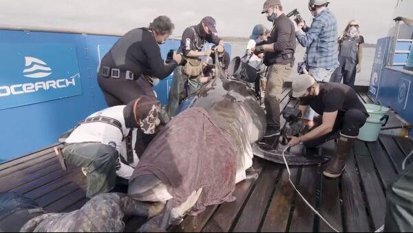 Grande squalo bianco catturato al largo della costa della Nuova Scozia da ricercatori marini - Sputnik Italia