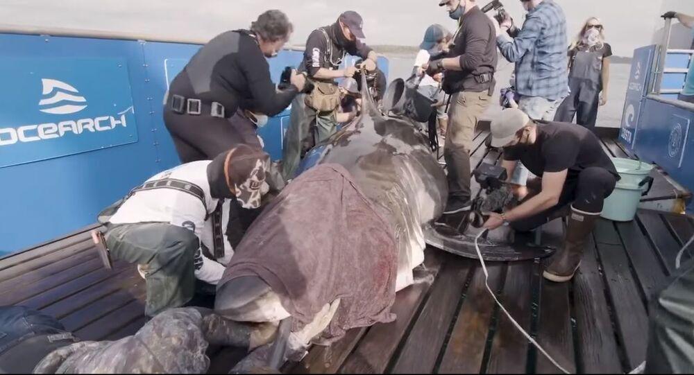 Grande squalo bianco catturato al largo della costa della Nuova Scozia da ricercatori marini