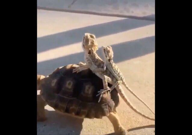 Tartaruga con due rettili
