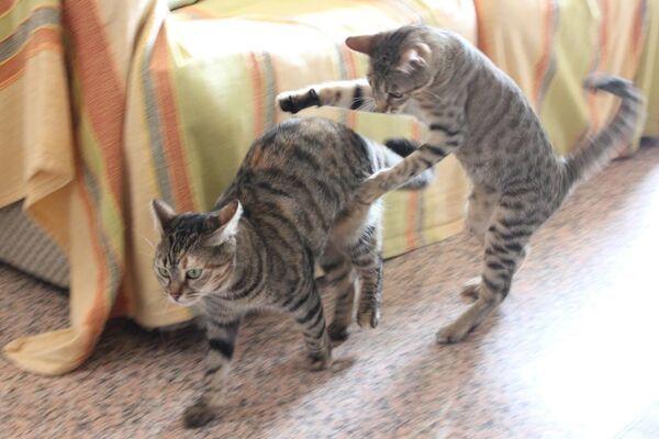 In molti Paesi la Giornata internazionale del gatto si celebra l'8 agosto - Sputnik Italia