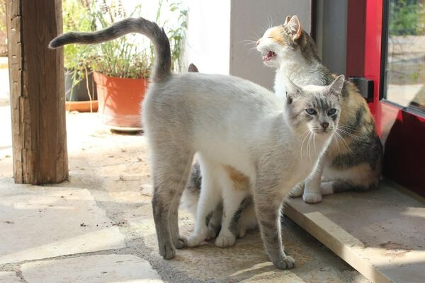 Un gatto bianco in Italia - Sputnik Italia