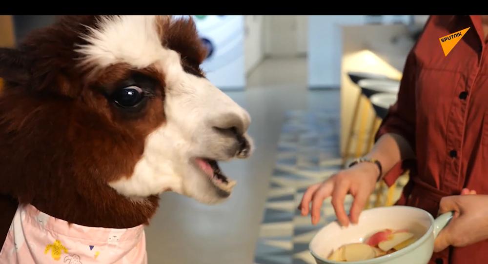 Azienda cinese 'assume' alpaca per aiutare i suoi dipendenti a rilassarsi - Video