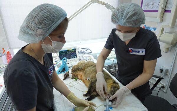 L'operazione odontoiatrica per la cura dentale del procione - Sputnik Italia