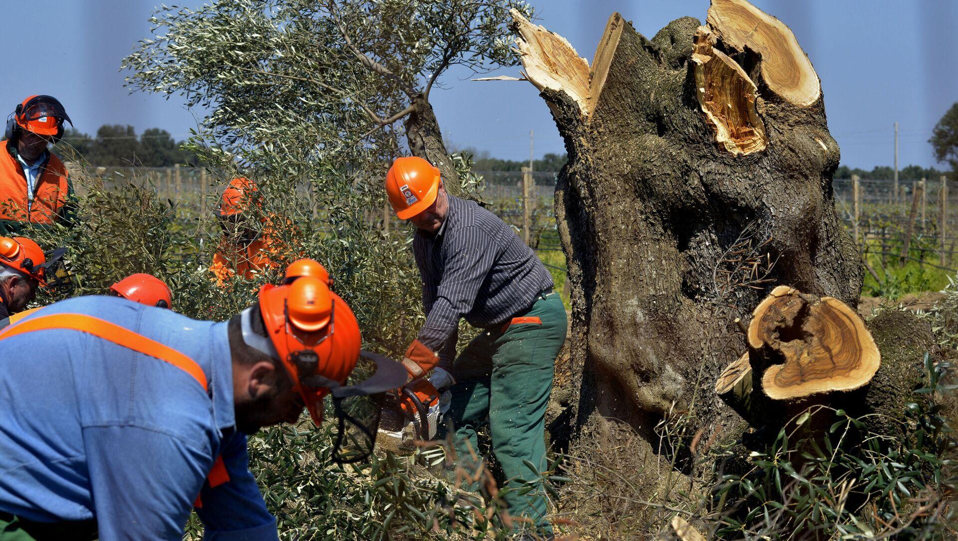 Alberi di ulivo colpiti dalla Xylella in Puglia - Sputnik Italia, 1920, 17.02.2021