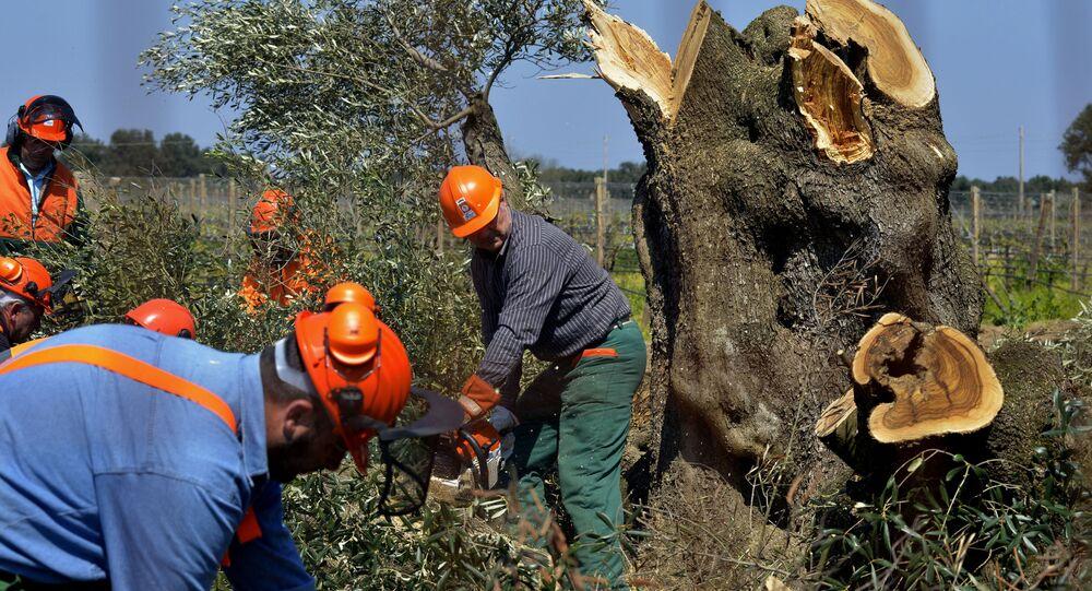 Alberi di ulivo colpiti dalla Xylella in Puglia