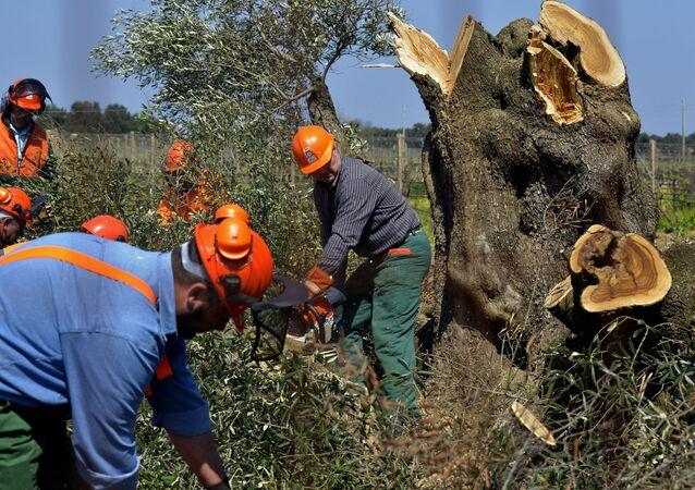 I lavoratori hanno abbattuto un ulivo a Oria, vicino a Brindisi, Italia meridionale, lunedì 13 aprile 2015. I funzionari forestali dell'Italia meridionale hanno abbattuto il primo di migliaia di ulivi infettati da un batterio mortale nel controverso tentativo di impedirne la diffusione . Il batterio xylella fastidiosa ha devastato gli ulivi pugliesi e ha contribuito a un calo del 35% della produzione di olio d'oliva della regione lo scorso anno. La sua diffusione ha talmente allarmato l'Ue che la Francia ha annunciato il boicottaggio degli ortaggi pugliesi. I coltivatori pugliesi si sono opposti al piano taglia e brucia del governo, dicendo che non conterrà la diffusione dei batteri. (AP Photo / Gaetano Loporto)