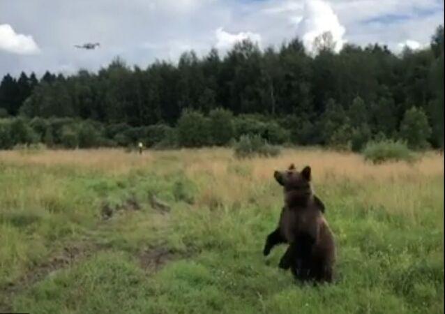 Russia, orso caccia il drone
