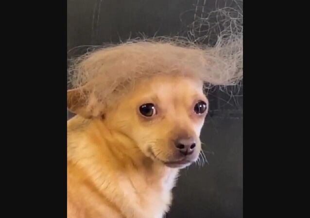 Trump Chihuahua