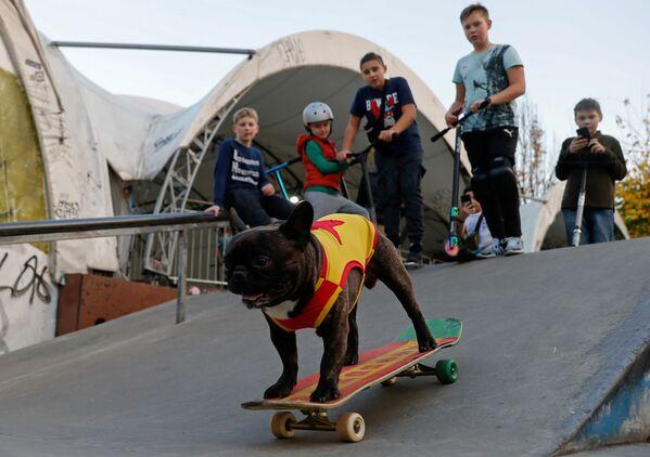 Il bulldog francese Nord-Boss va sullo skateboard nel parco Sokolniki a Mosca - Sputnik Italia