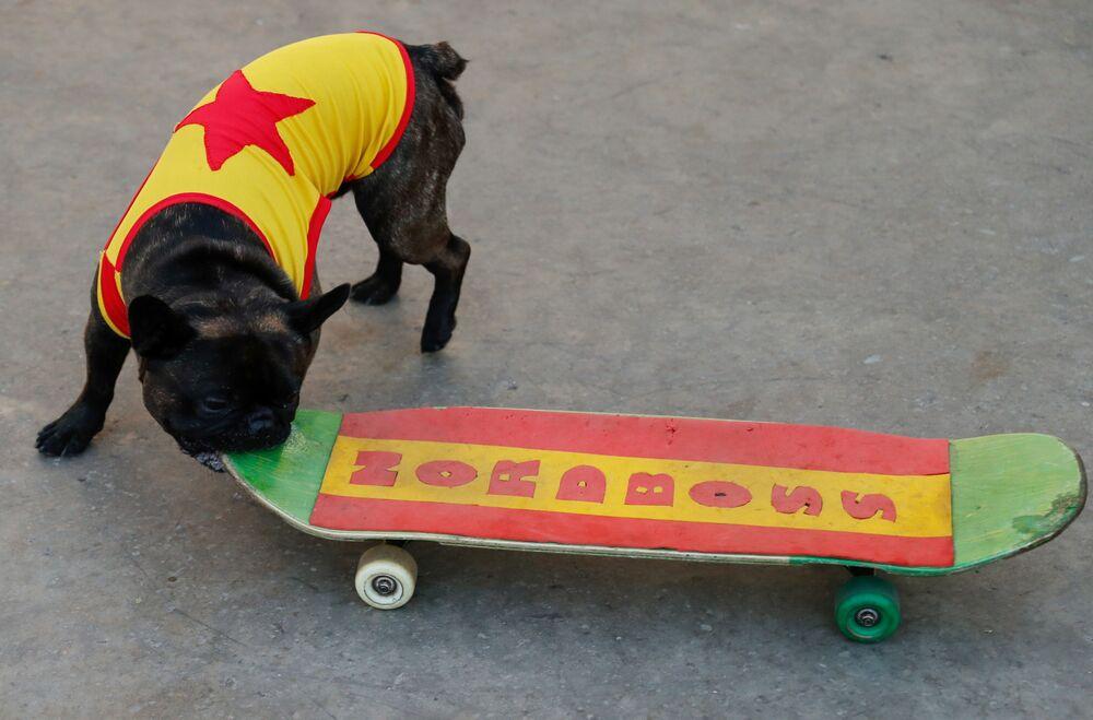 Il bulldog francese Nord-Boss va sullo skateboard nel parco Sokolniki a Mosca