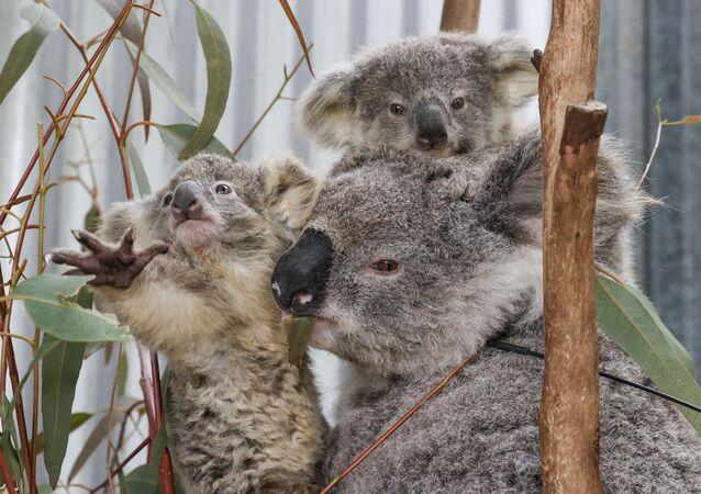 Un koala con cuccioli salvati dagli incendi forestali.