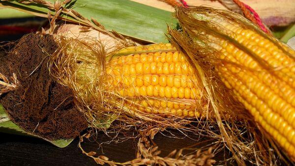 Початки кукурузы - Sputnik Italia