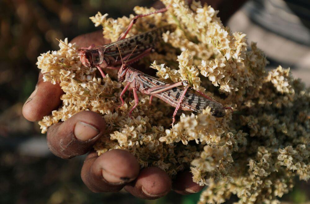 Invasione di locuste del deserto nel villaggio Jawaha vicino alla città di Kamise, nella regione di Amhara, in Etiopia.