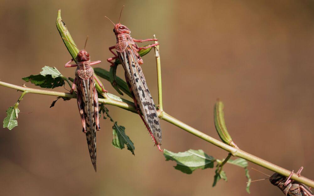 Locuste del deserto nel villaggio Jawaha vicino alla città di Kamise, nella regione di Amhara, in Etiopia.