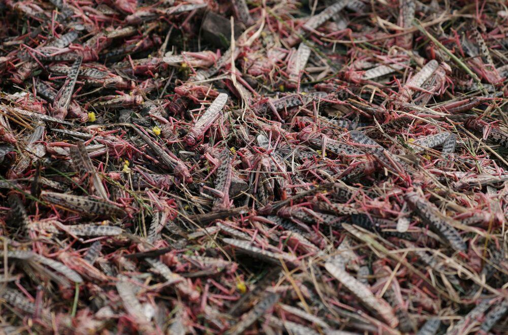 Locuste morte dopo dopo essere state spruzzate con dei pesticidi.