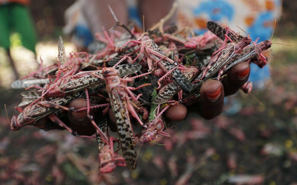 Una donna tiene in mano locuste morte che sono state spruzzate con dei pesticidi dopo aver distrutto la sua fattoria, nel villaggio di Jawaha vicino alla città di Kamise, nella regione di Amhara, in Etiopia, il 15 ottobre 2020.